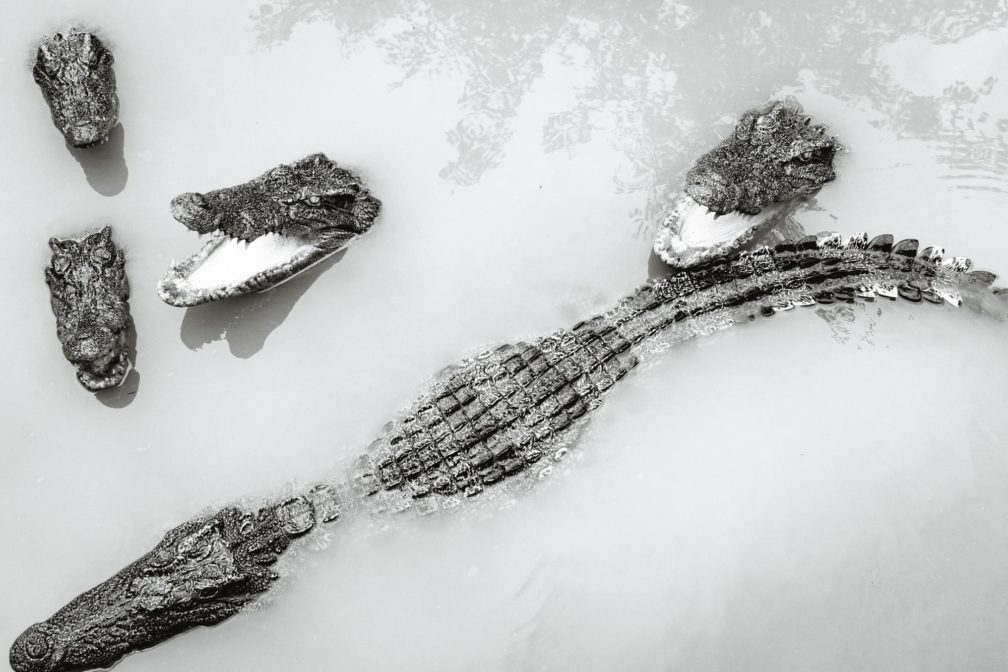 Alligators swimming in Vietnam