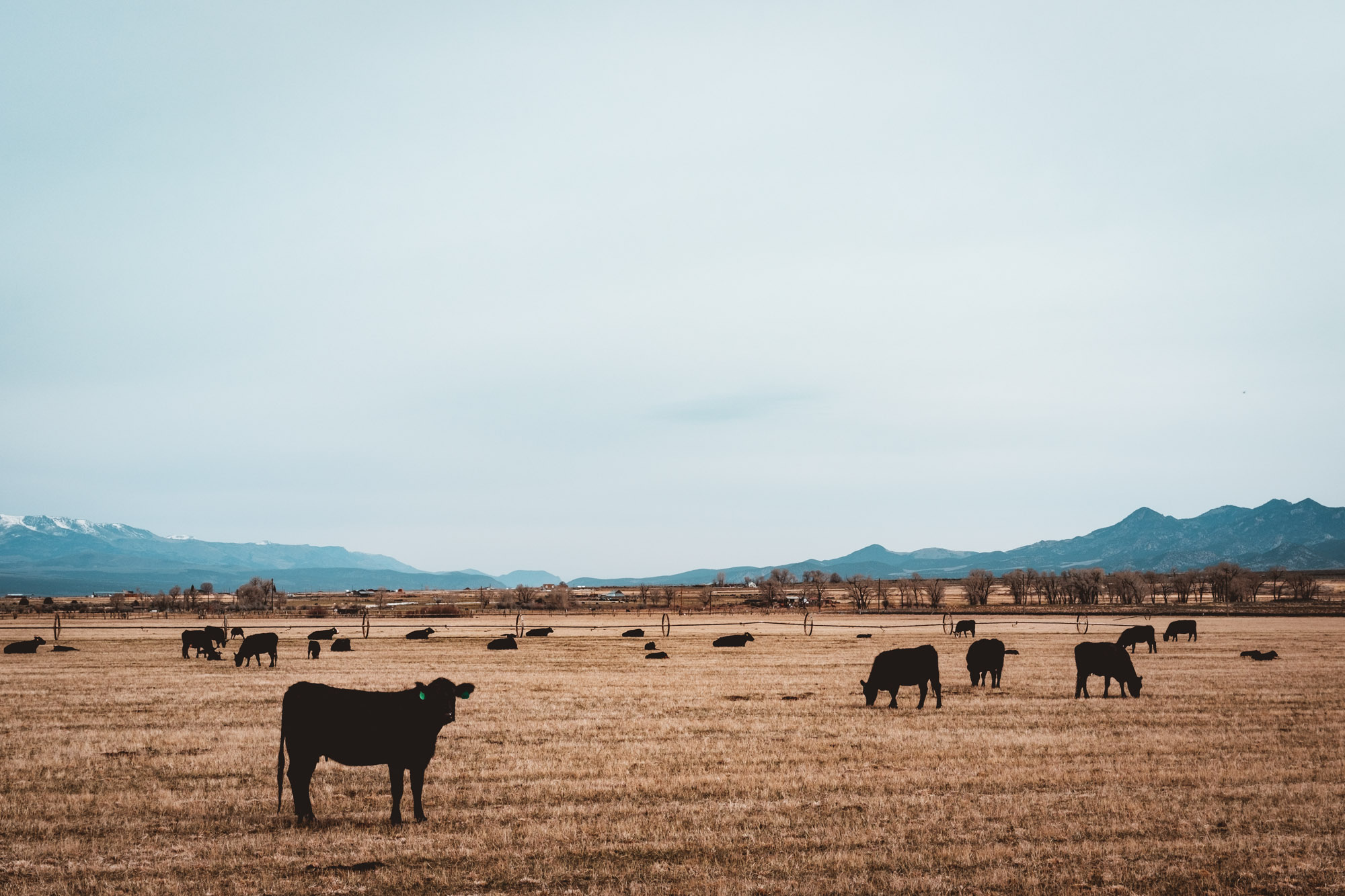 cows-panguitch-utah