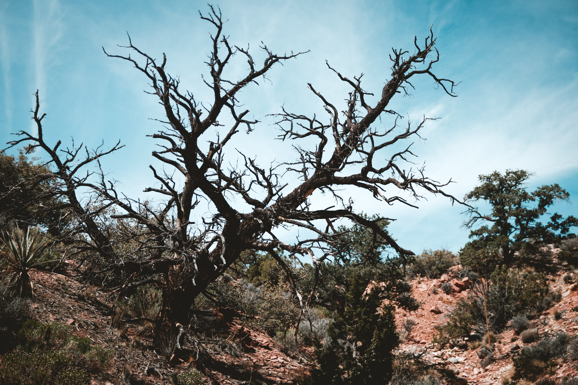 tree-red-rock-canyon-state-park